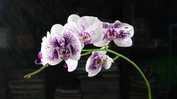 Zavlažování rozprašováním vody bílé fialové květy Phalaenopsis orchideje