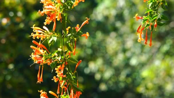 Orange Trumpet flowers blooming in the sunlight with the bokhe in the background