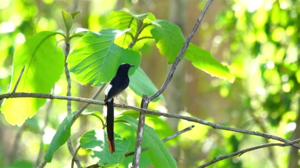 White-rumped Shama Bird standing and singing on branch of a tree  in the forest of Thailand