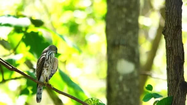 Veréb Hawk Bird áll az ága egy fa, stretching a szárny és a farok