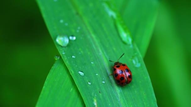 Closup videó Coccinellidae Katica bogarak a természetben. Katica séta a zöld fű levél és kiutasítják széklet.