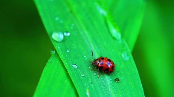 Coccinellidae Ladybird Beetle a piedi su una foglia di erba verde. Coccinella che vola via.