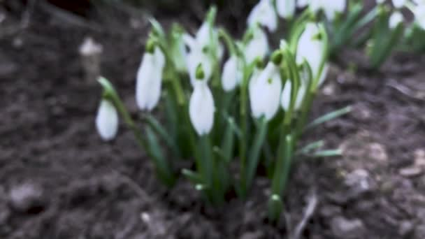 close up view of blooming snowdrop flowers