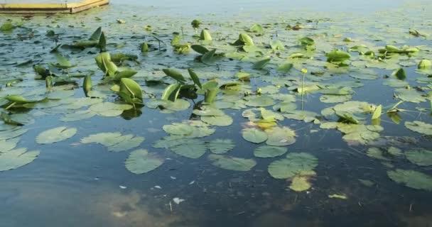 Žlutá Vodní lilie Nuphar lutea, kvetoucí žlutá voda, rostliny ve vodě při západu slunce