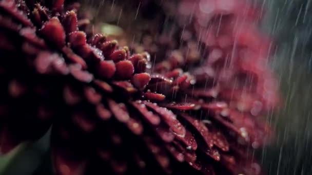 makro tmavě červené lístky za deště v rozmazané pozadí