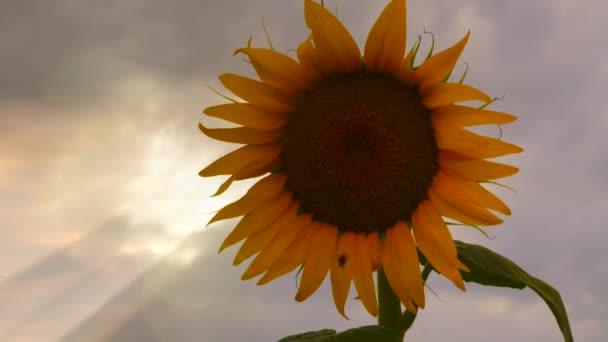 Kvetoucí slunečnice na pozadí sunset. Rozkvetlé slunečnice