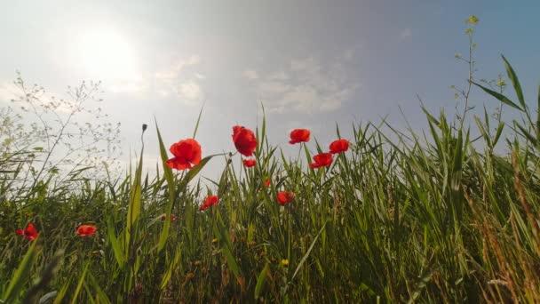 Pole se zelenou trávou a červenými máky proti modré obloze.