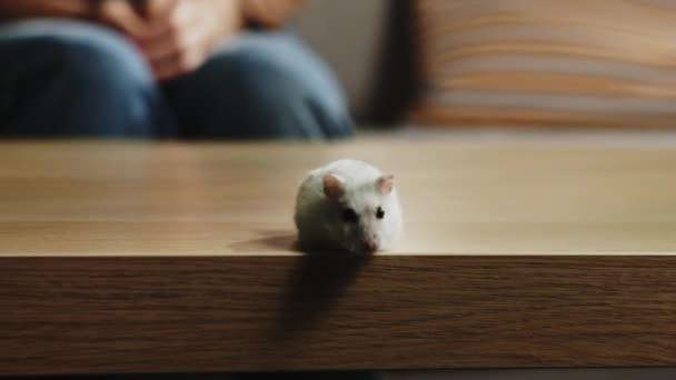 Weißer Hamster läuft um den Kaffeetisch