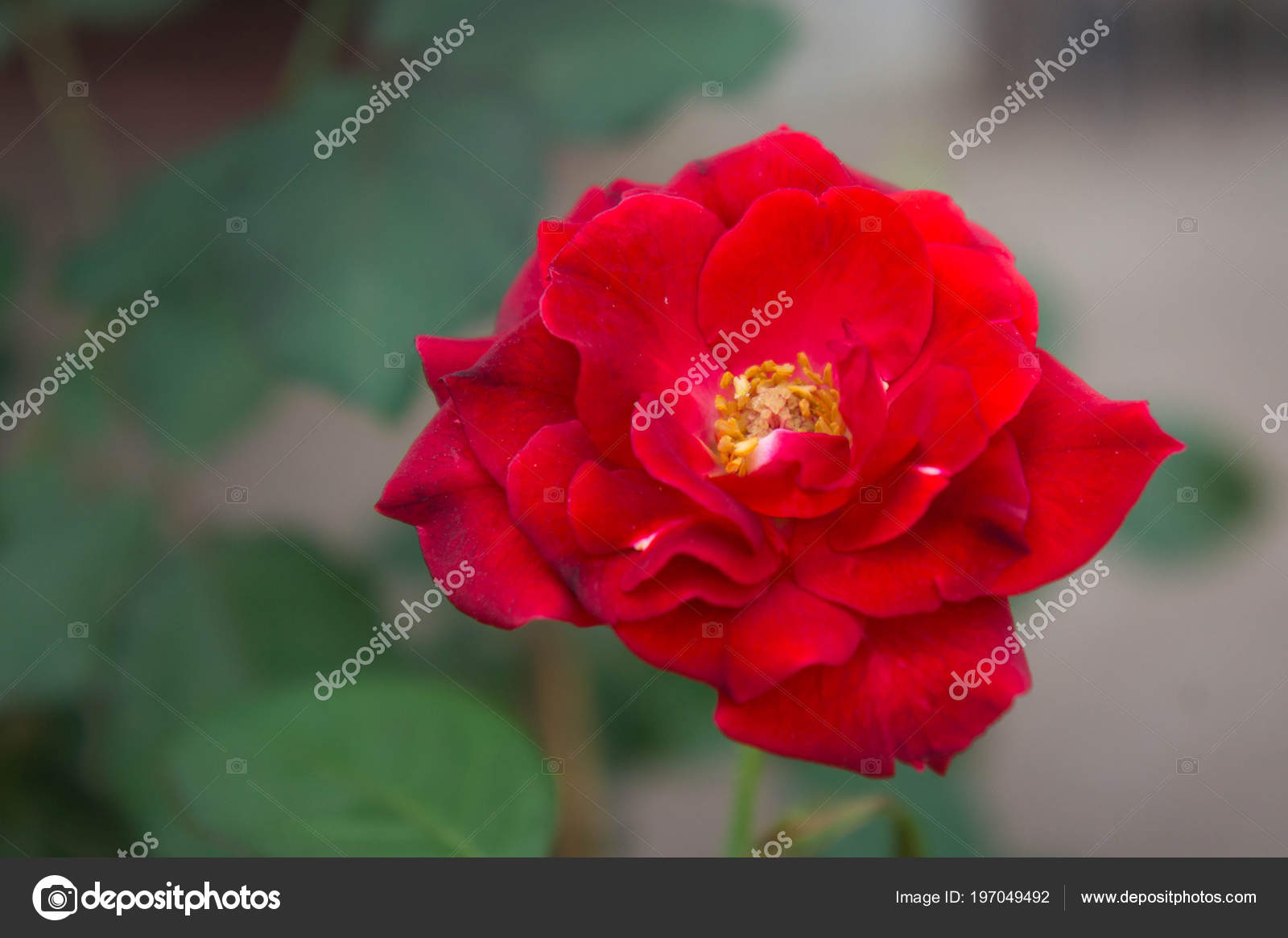 Red Rose Flowers Nature Garden Flower Love Nice Day Stock