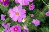 Fényképek virágok virágzó napján a természet kert területén cosmos