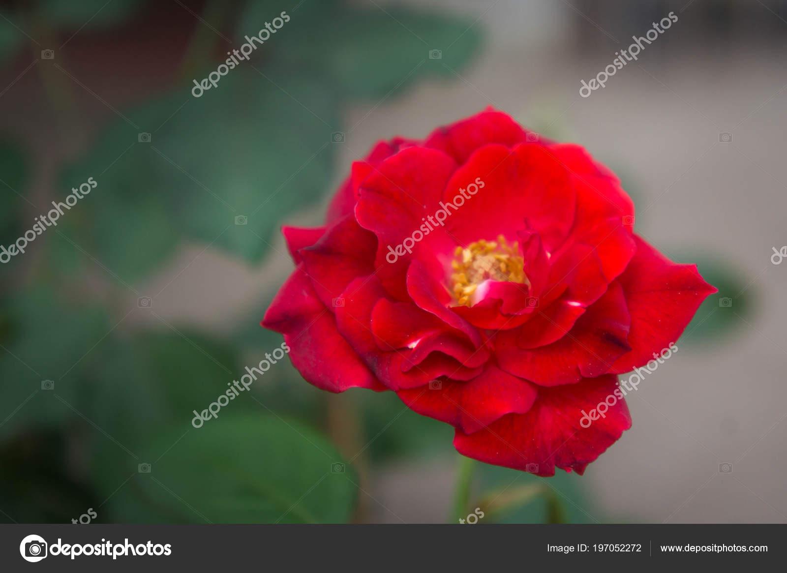 Flores Rosas Vermelhas Natureza Jardim Flor Amor Bom Dia