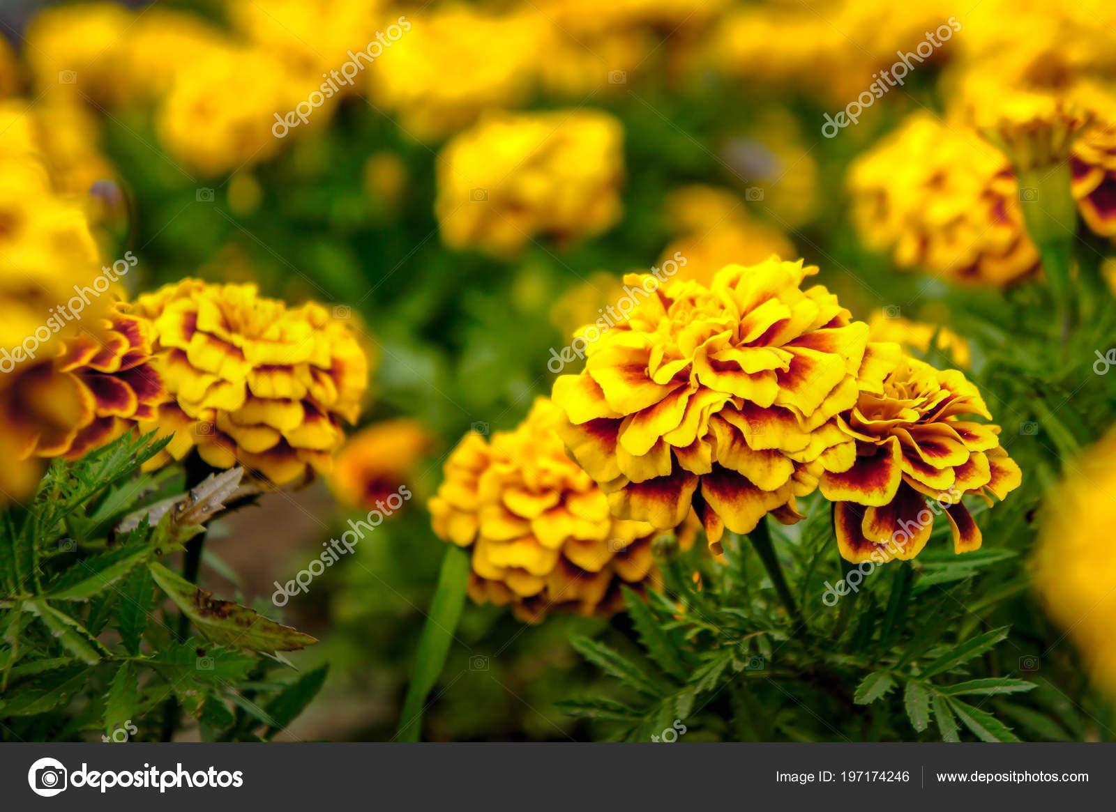 Marigold Flowers Garden Summer Yellow Flowers Beautiful Flowers