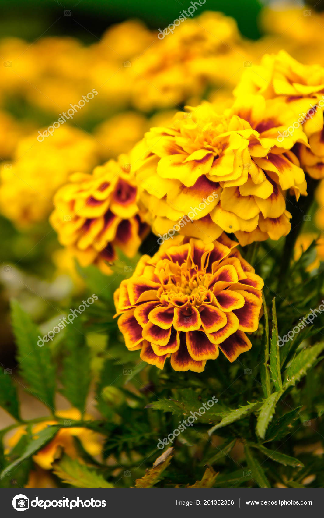 Kadife çiçeği çiçekleri: bahçenin dekorasyonu ve sadece