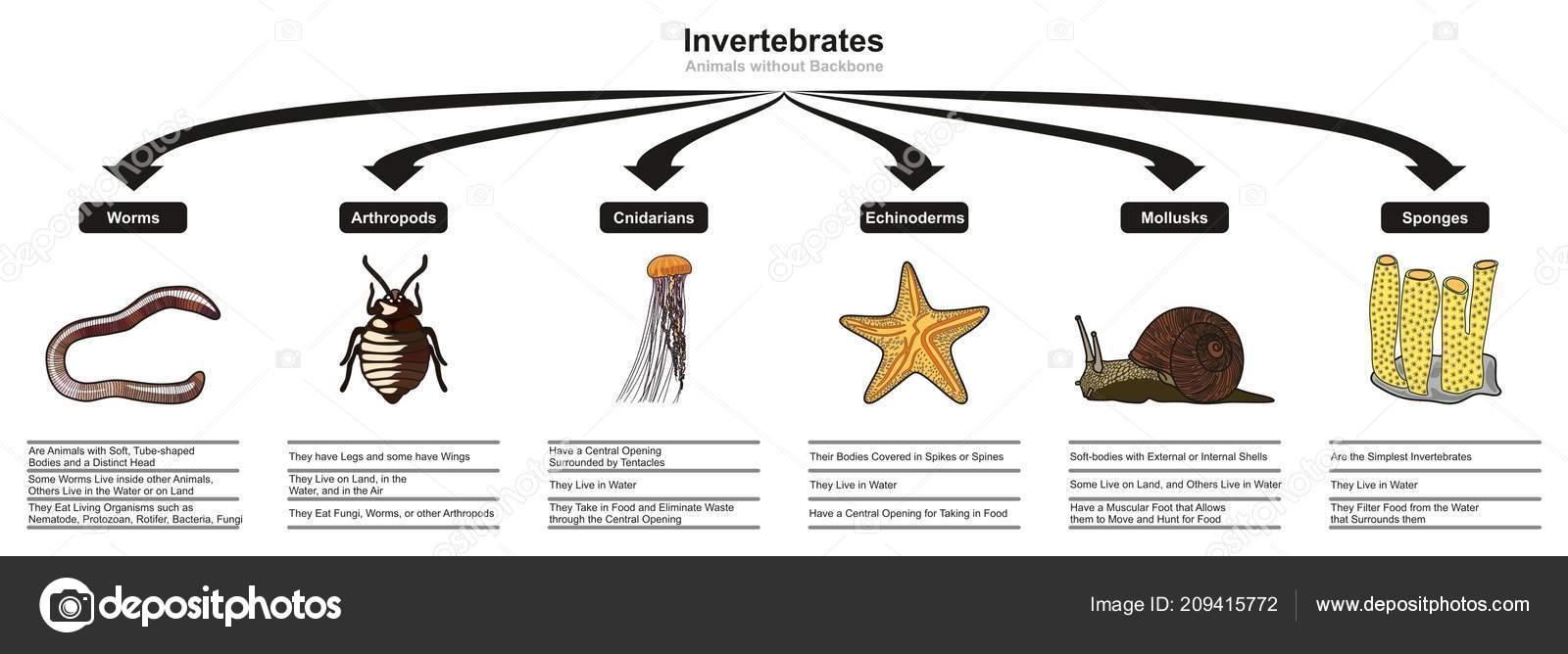 Clasificación Animales Invertebrados Las Características Diagrama ...