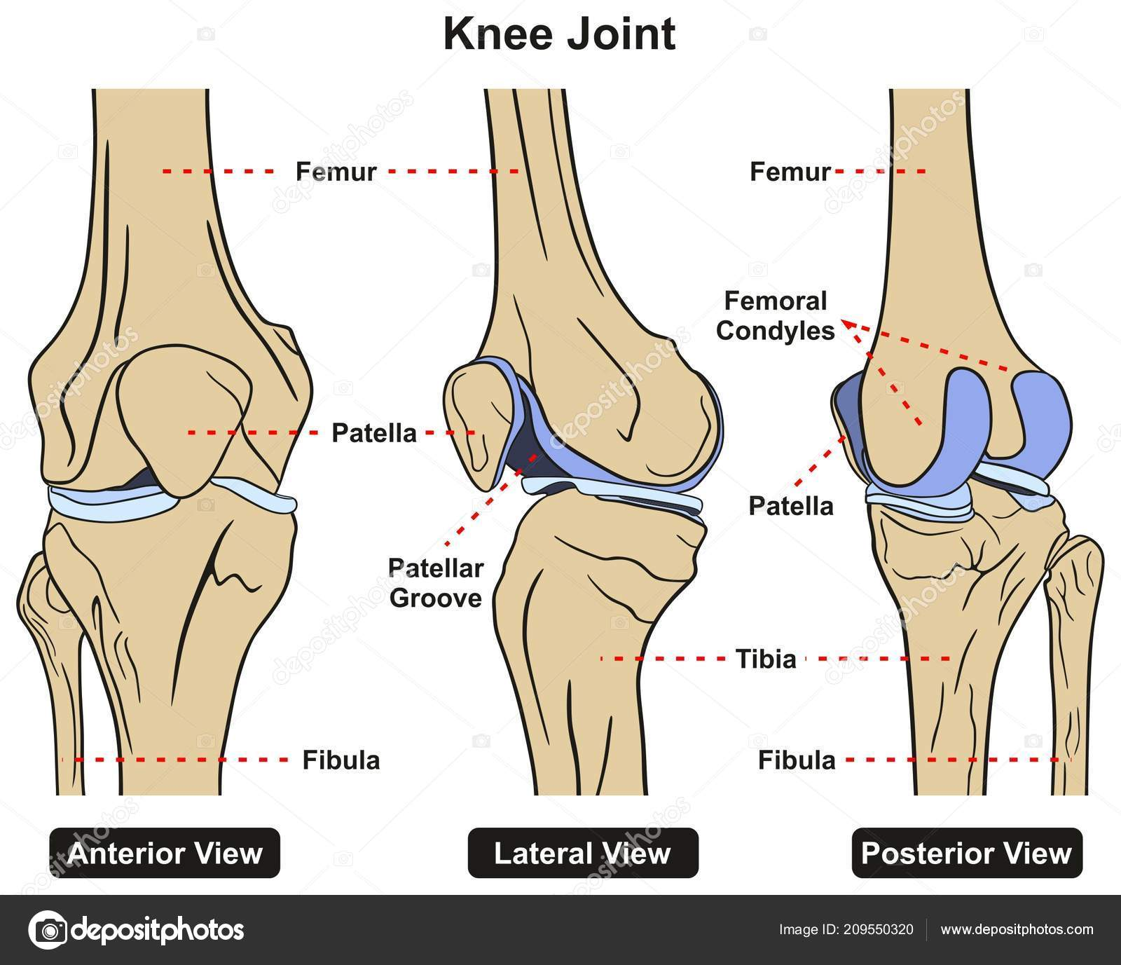 Knee Joint Human Body Anatomy Infographic Diagram Including Anterior ...
