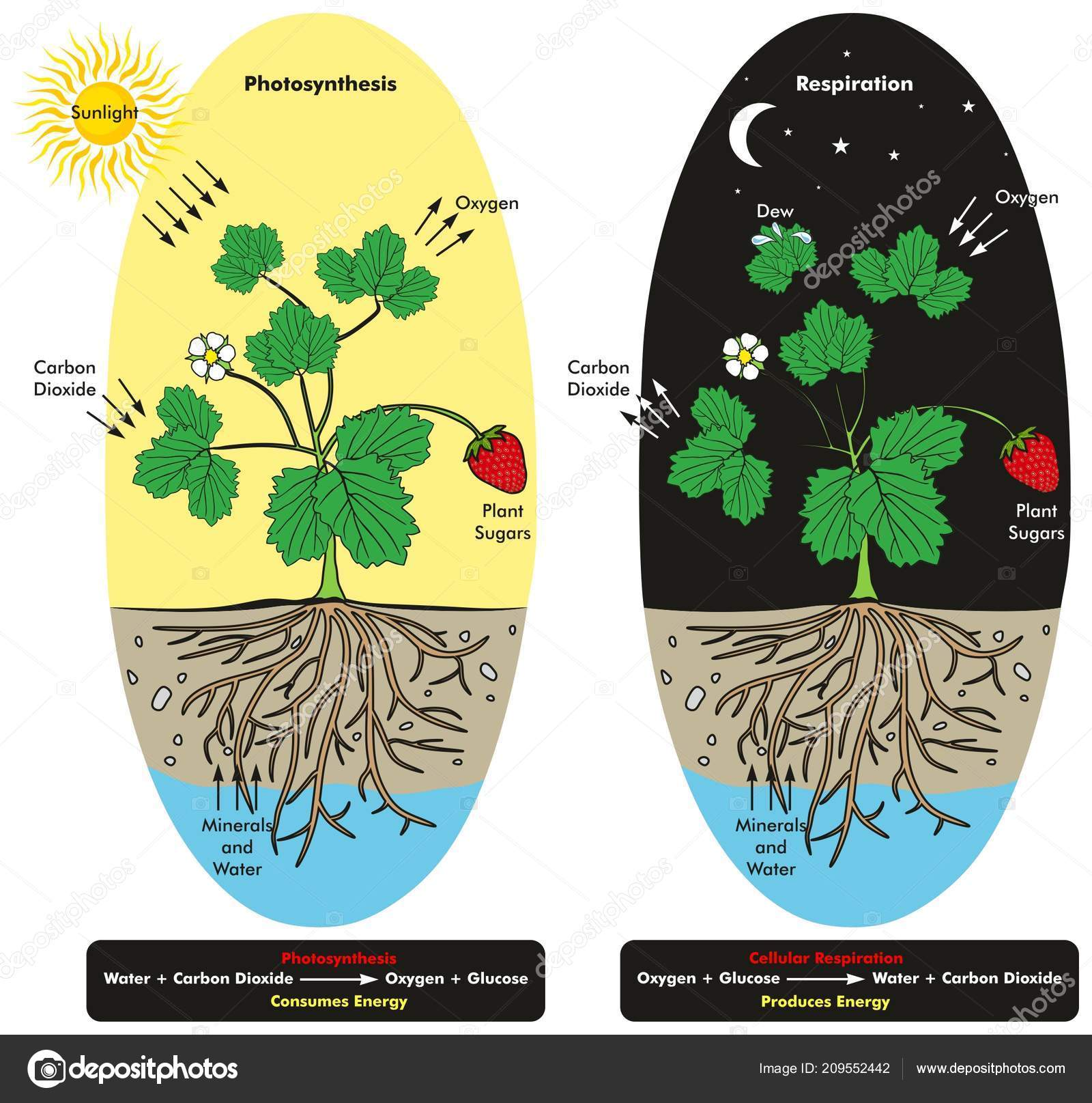 Comparing Photosynthesis And Cellular Respiration Diagram Data