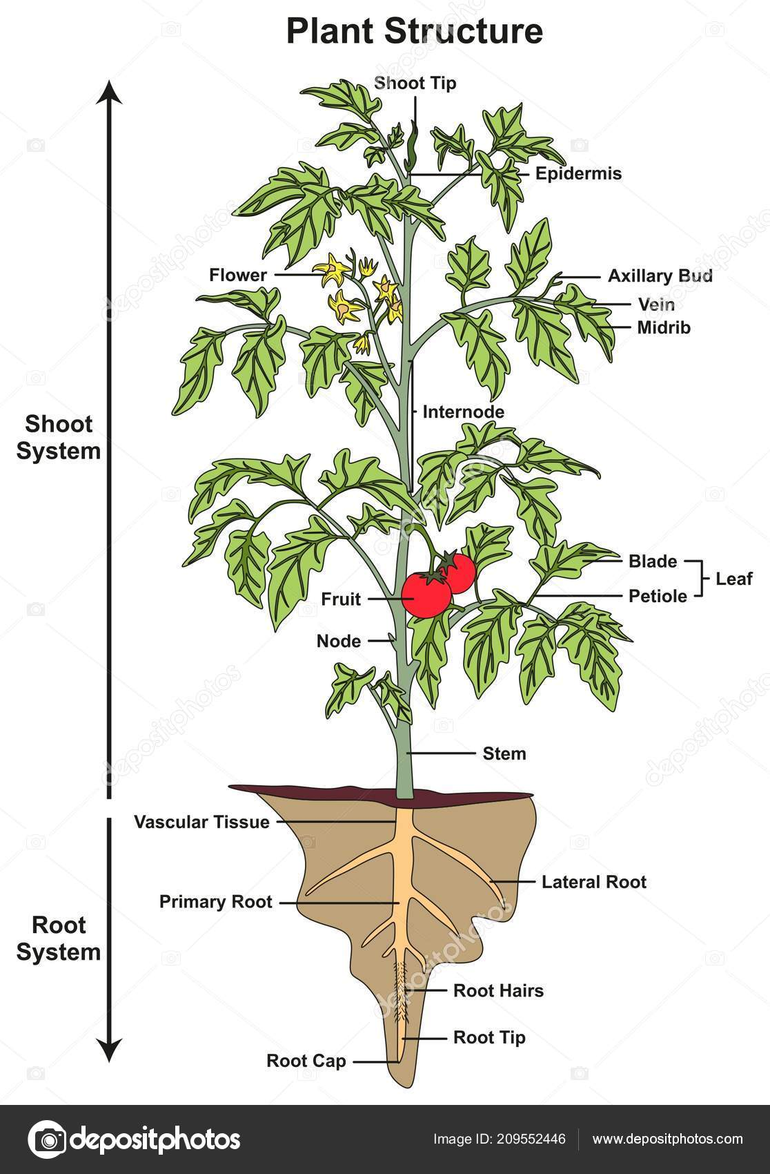 Plant structure infographic diagram including all parts shoot root plant structure infographic diagram including all parts of shoot and root systems showing buds flower fruit stem leaf node root hairs tip cap for biology ccuart Images