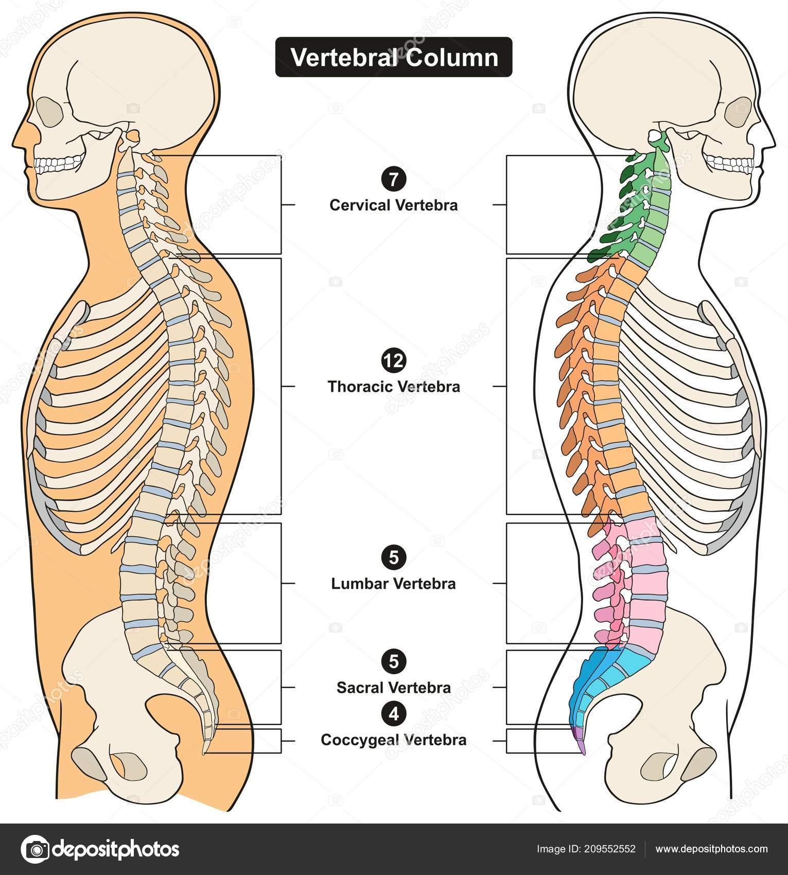 Vertebral Column Human Body Anatomy Infograpic Diagram Including All ...