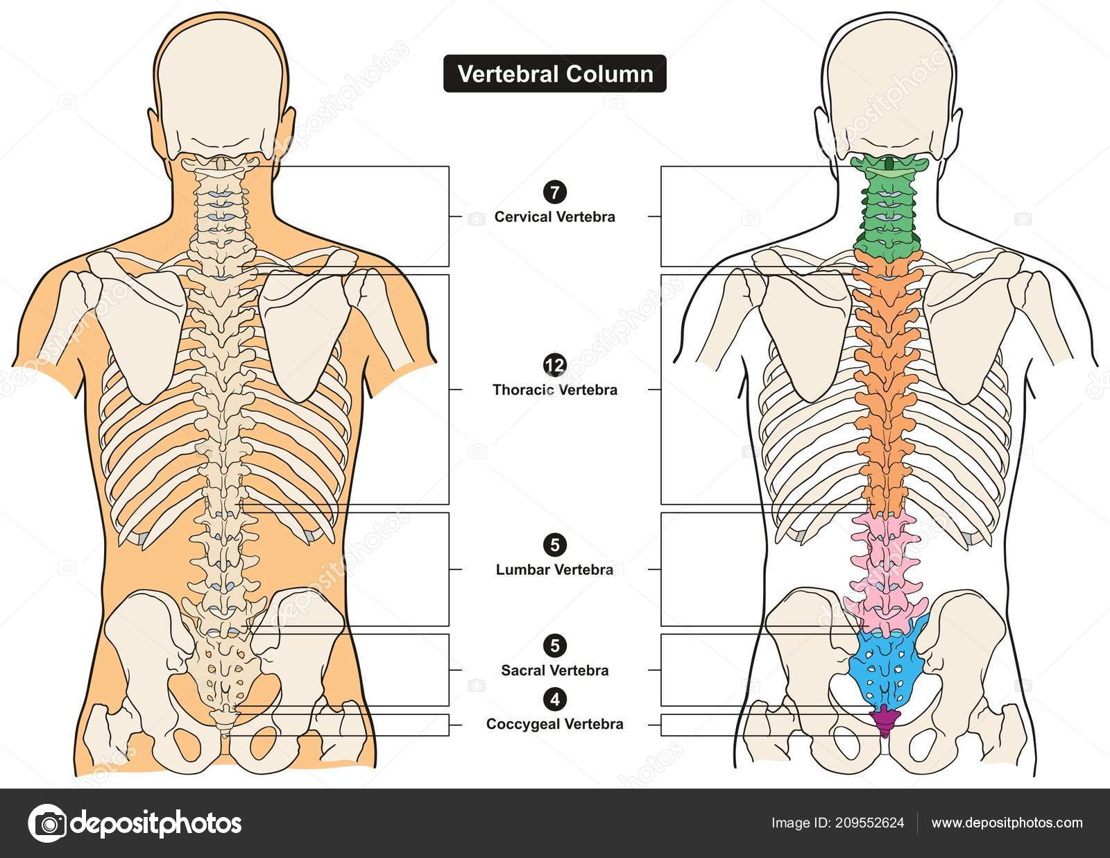 Vertebral Column Human Body Anatomy Infograpic Diagram Including All