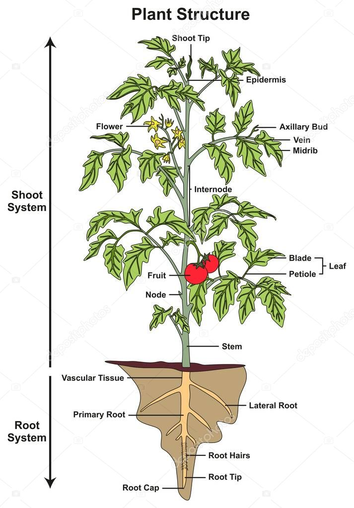 Picture: a plant and its parts | Plant Structure ...
