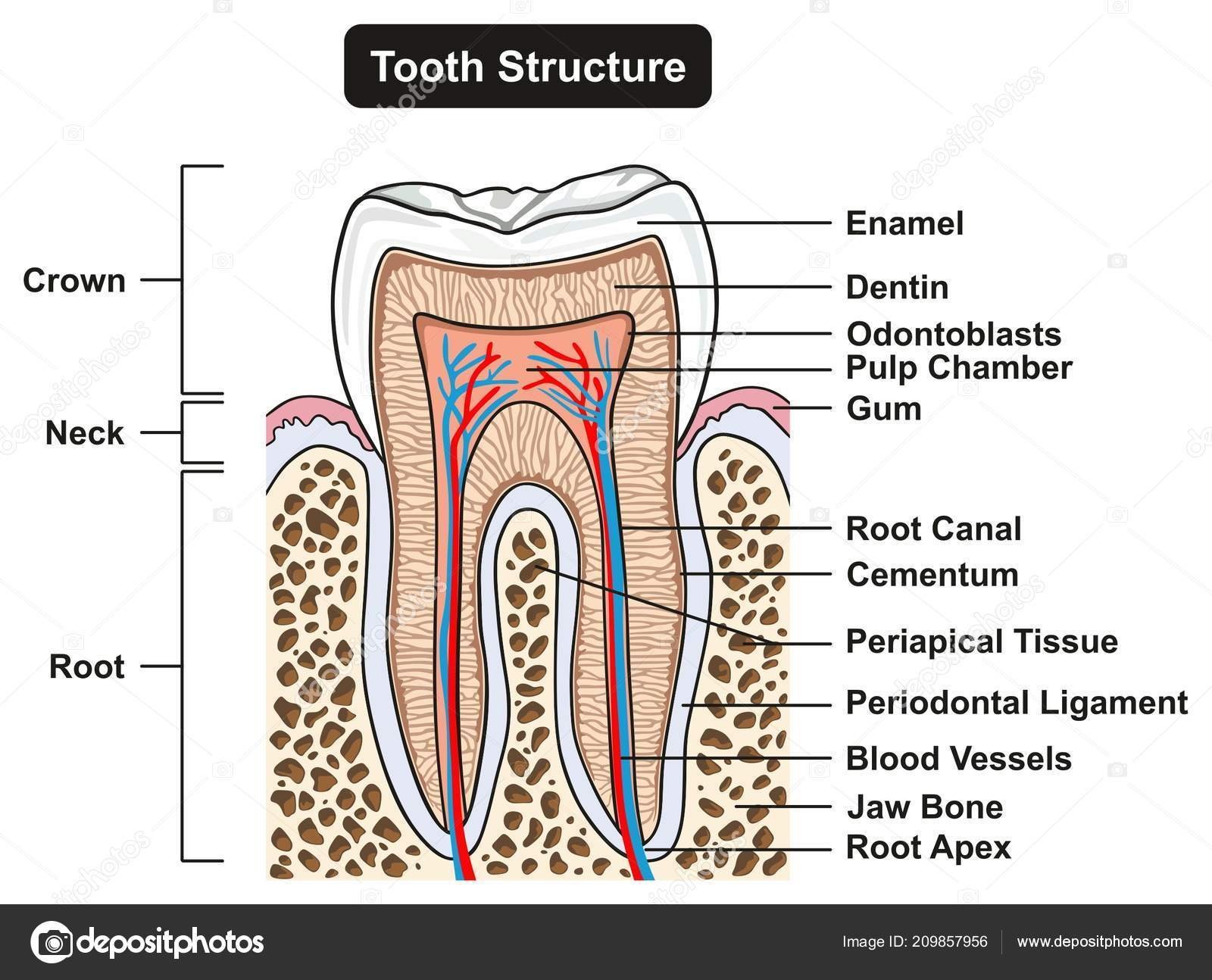 Labeled Tooth Cross Section Anatomy All Parts Including Crown Neck