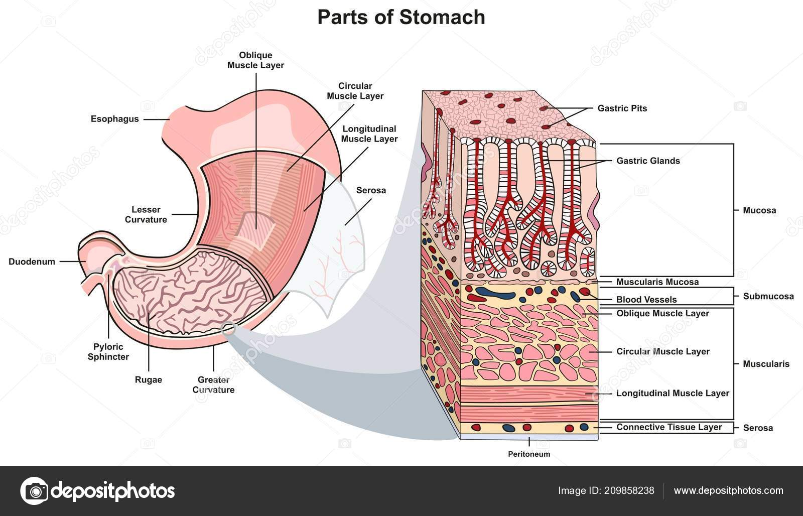 parts stomach infographic diagram including structure cross section Throat Diagram parts stomach infographic diagram including structure cross section esophagus muscle \u2014 stock vector