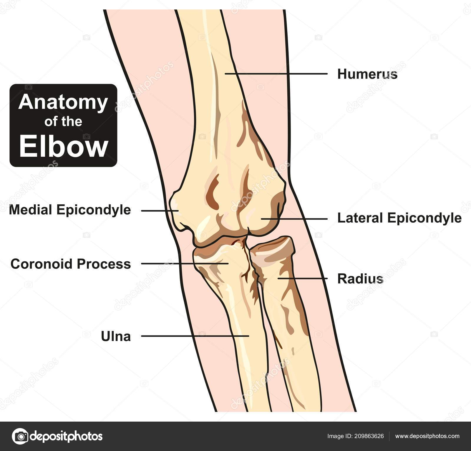 Diagram Of The Human Elbow Ulnar - Trusted Wiring Diagrams •