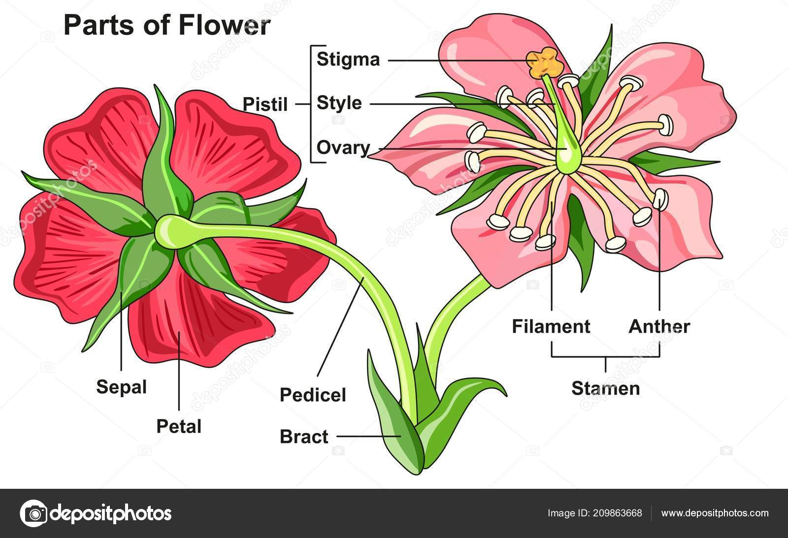 Labeled Flower Parts Diagram Front Back View All Parts Labeled — Stock Vector