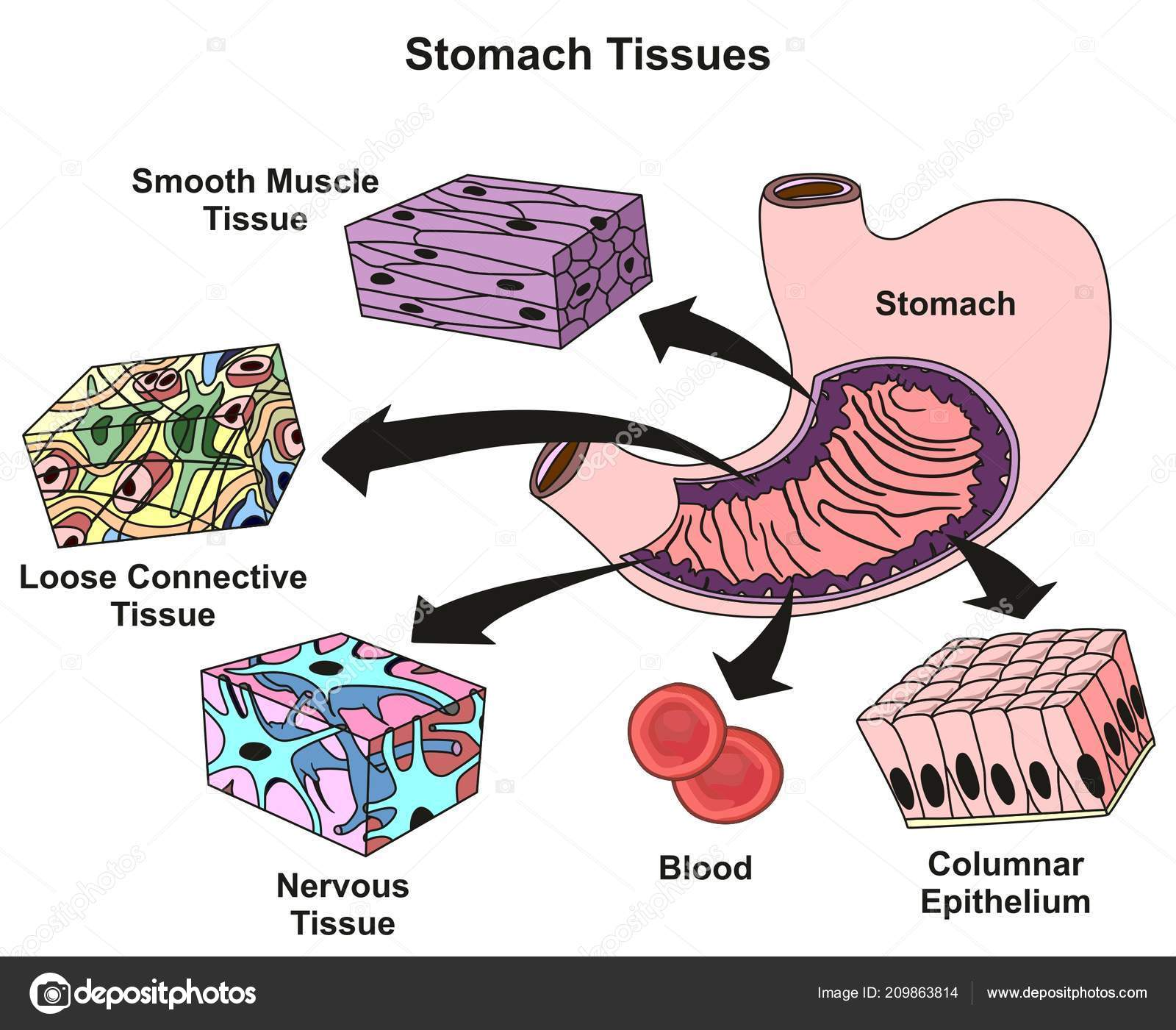 Smooth Muscle Tissue Diagram