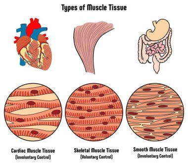 Types of Muscle Tissue of Human Body Diagram including cardiac skeletal smooth with example of heart digestive system along with involuntary voluntary control for medical science education stock vector