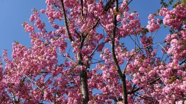 Blossoming pink sakura tree in spring on the background...
