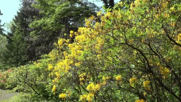 Yellow rhododendron bushes and trees in a spring park. Sunny day.
