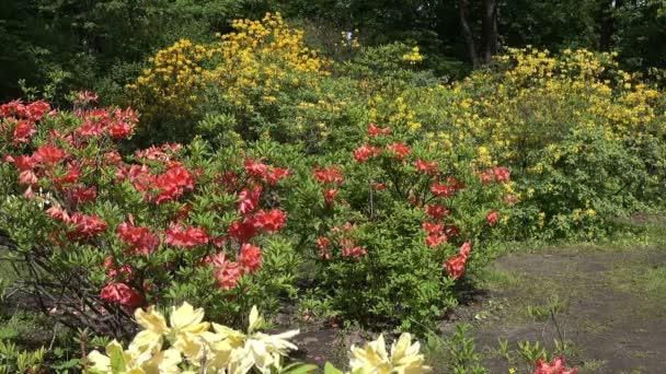 Sträucher schöner weißer, gelber und roter Rhododendron im Park im Frühling bei sonnigem Wetter.