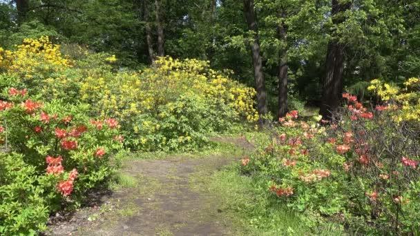 Ein Weg im Frühlingspark zwischen den bunt blühenden Rhododendronbüschen. sonniger Tag.