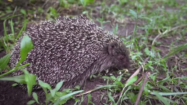 A hedgehog, sitting in the grass, eats food,