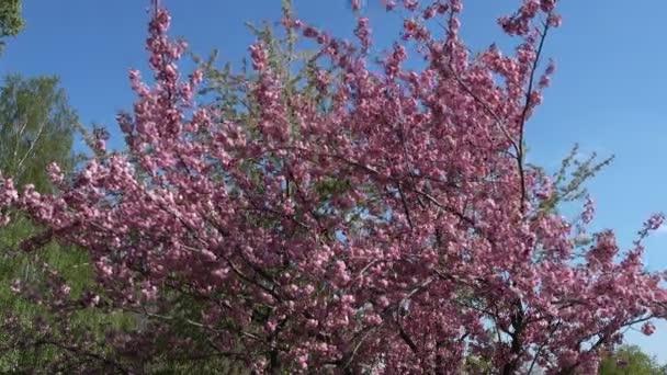 Strom kvete na jaře za slunečného dne Sakura