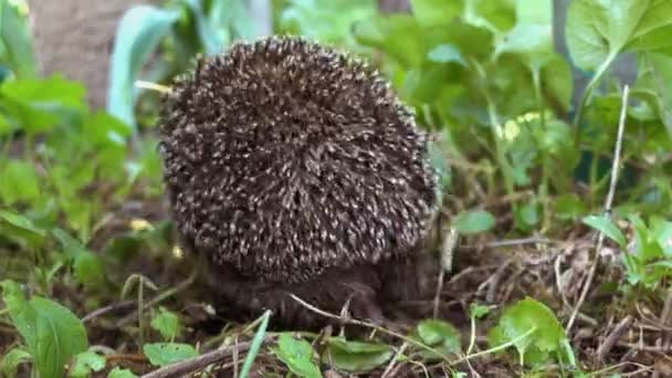 Gray prickly hedgehog running on the grass