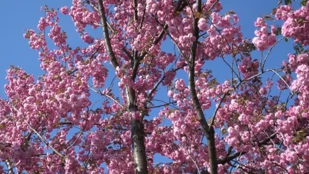 Kvetoucí strom sakura růžová proti modré obloze na slunečný jarní den