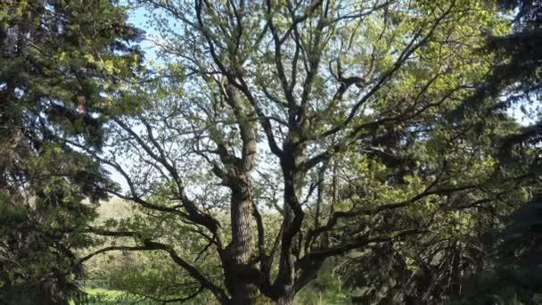 A tall old oak tree dissolves leaves