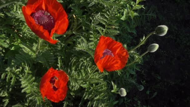 Collecting bees looking for nectar and pollen circle over red poppies. Close-up