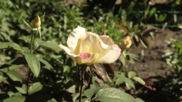 Za kvetoucí růže od shora dolů