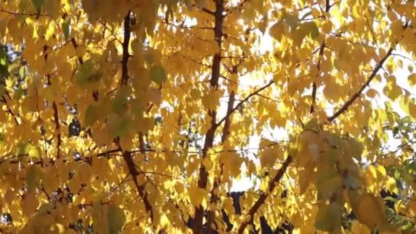 Paprsky slunce přes žluté podzimní listy z meruněk. Krása podzimu