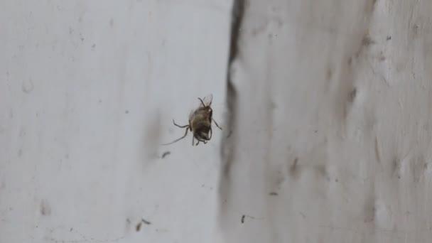 Spinne und Beute. Die Spinne bedeckt ihre Beute mit einem Spinnennetz.