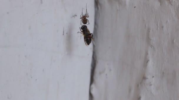 Spinne und Beute. die Spinne zerrt ihr Opfer und stärkt ihr Netz.