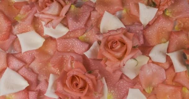 Panoráma virágok és rózsaszirmok cseppekben harmat. Rózsa rózsaszín és fehér rózsaszirmokra.