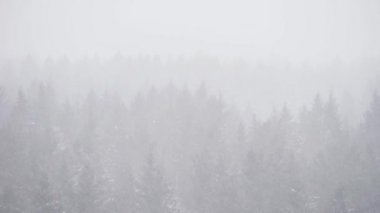 Front View Height Spruce Woods Trees Winter Overcast Day Snowstorm — Stock Video