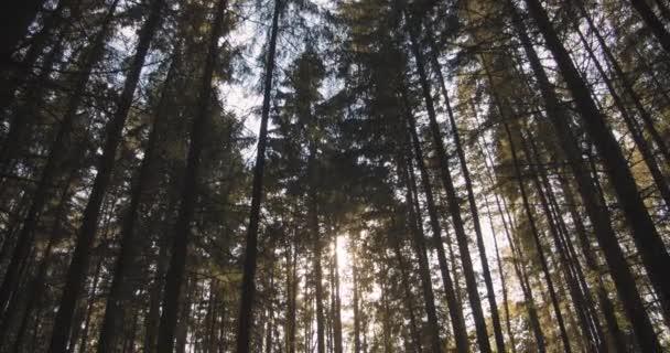 Slunce mezi stromy v lese. Vršky stromů a sluneční svit. Uvnitř smrkového lesa. Kamera se pohybuje shora dolů