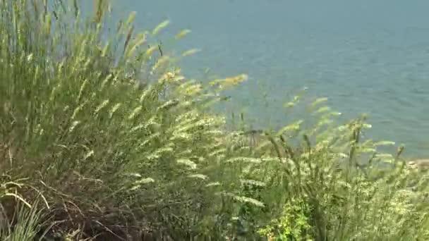 Třtina epigeios, divoké trávy na břehu ústí