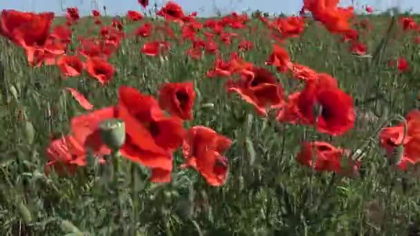 Papaver rhoeas, Wild poppy growing on the wheat field