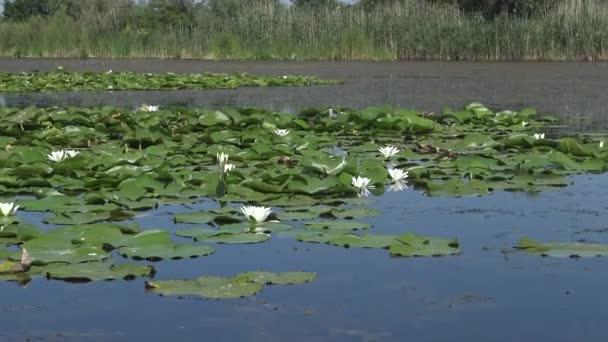 Krásné bílé vody květiny lilie (Nymphaea alba) na povrchu vody v jezeře, Kugurluy, Ukrajina. Rostlina v červené knize Ukrajiny